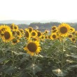向日町と向日葵
